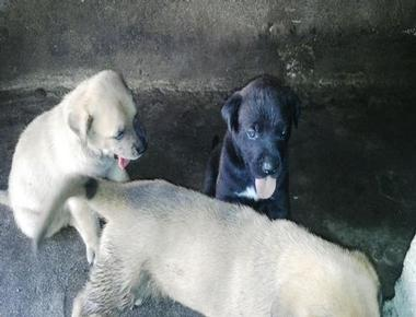 mixed with Great Dane Puppies...Click Here For Details